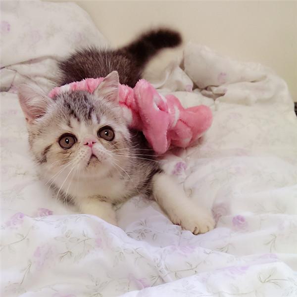 猫舍出售宠物猫加菲猫异国短毛猫活体幼猫红虎斑梵文黄白加菲猫