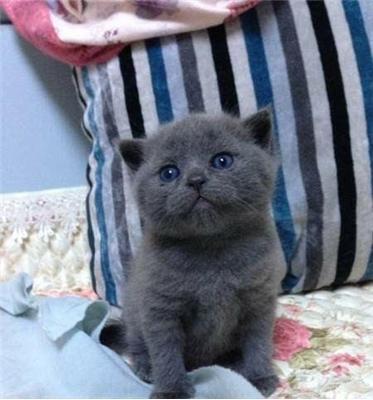 梦见姐姐养只蓝猫