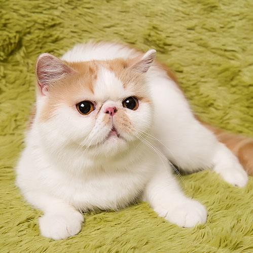 精品高品质加菲猫热卖中微信咨询欢迎选购