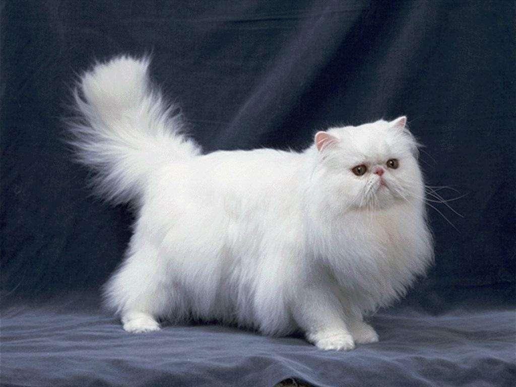 出售高品质多只波斯猫 公母均有 多只可选