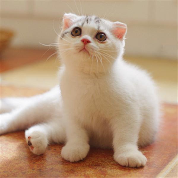 高品质折耳猫出售,公母均有包纯种健康
