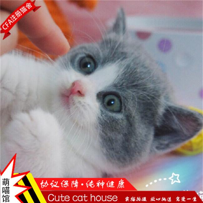 纯种英国短毛猫英短蓝猫幼猫活体宠物猫家养灰色蓝猫
