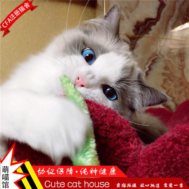 纯种健康布偶猫活体幼猫无病无藓支持上门挑选送货上门