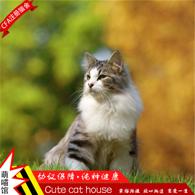 出售缅因猫纯种幼猫缅因猫活体布偶猫活体健康纯种可上门挑选