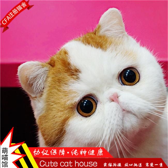 加菲猫纯种宠物猫活体幼崽异国短毛猫蓝猫折耳小奶猫加菲猫宠物