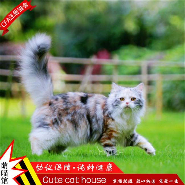 南京猫舍缅因猫纯种幼猫缅因库恩猫猫舍猫咪活体银虎斑缅因猫