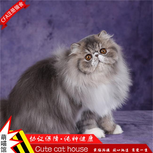 宠物猫波斯猫活体幼猫异国短毛猫鸳鸯眼纯种纯白波斯长毛加菲猫