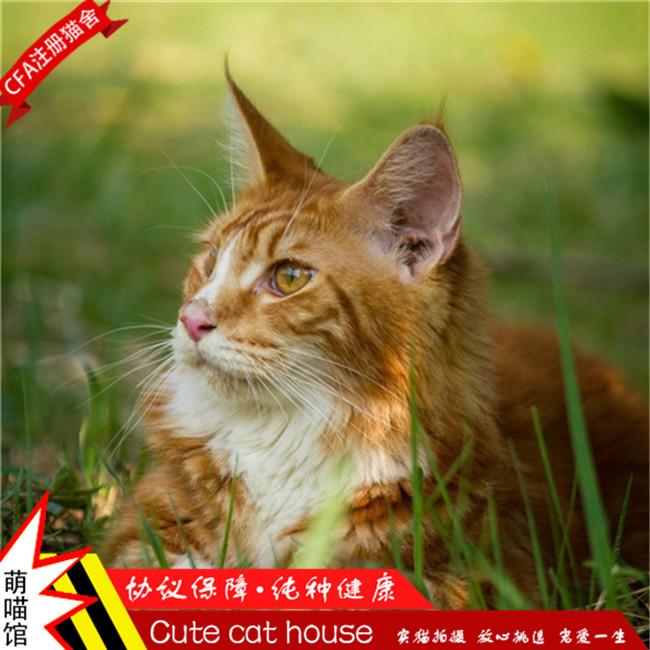 缅因活体幼猫纯种缅因猫巨型宠物猫出售疫苗驱虫已做