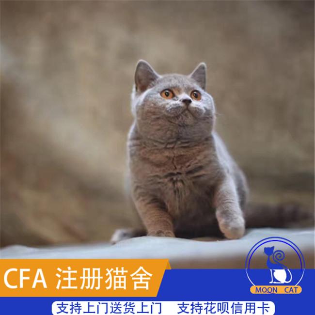 出售英国短毛蓝猫纯种活体宠物幼猫胖虎cfa认证家养小猫咪可