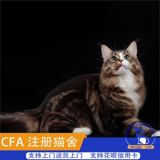 缅因猫活体纯种幼猫猫咪活体库恩猫活体大型猫巨型cfa