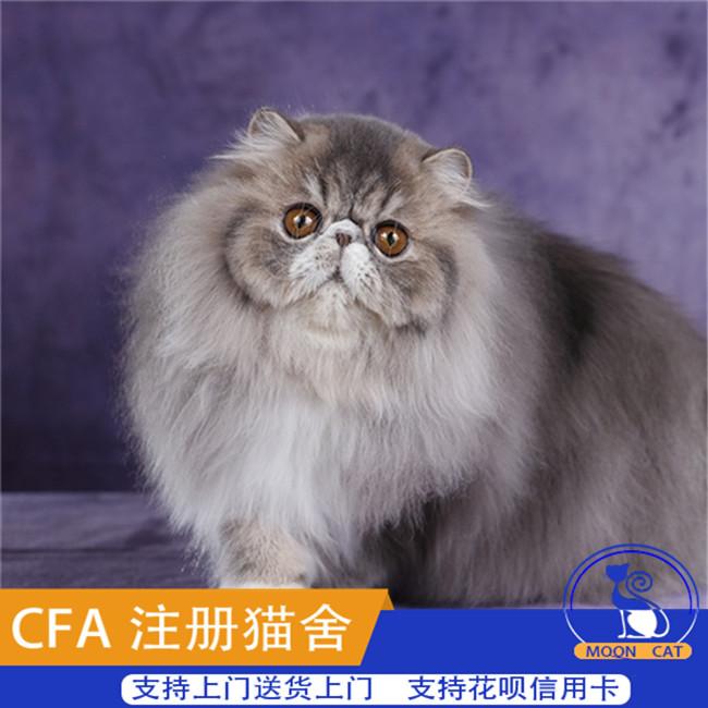 自家繁育纯种宠物异短加菲大脸加菲折耳猫加菲猫活体幼猫波斯猫