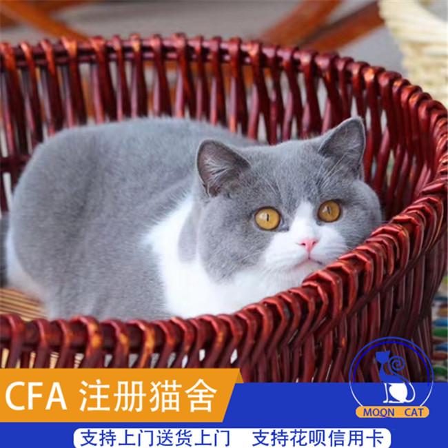 英短蓝猫活体幼猫家养繁殖小猫咪包子脸蓝猫渐层加菲美短折耳猫