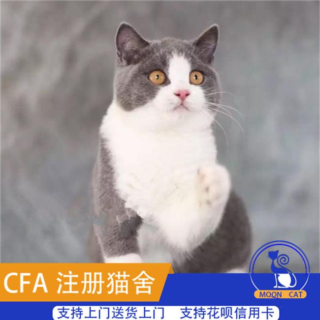 俄罗斯蓝猫活体短毛猫幼猫幼崽宠物家养小猫咪宠物猫纯种蓝猫活