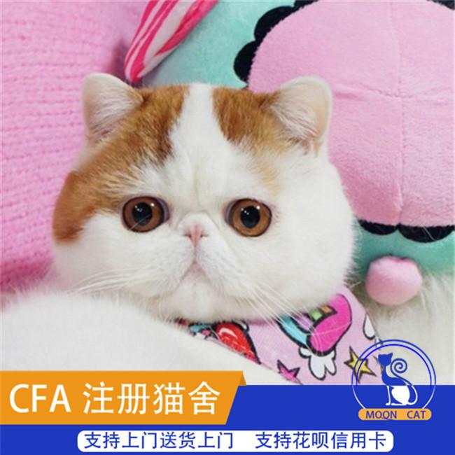 赛级双血加菲猫活体幼猫纯种异国短毛猫幼崽家养出售可送货上门