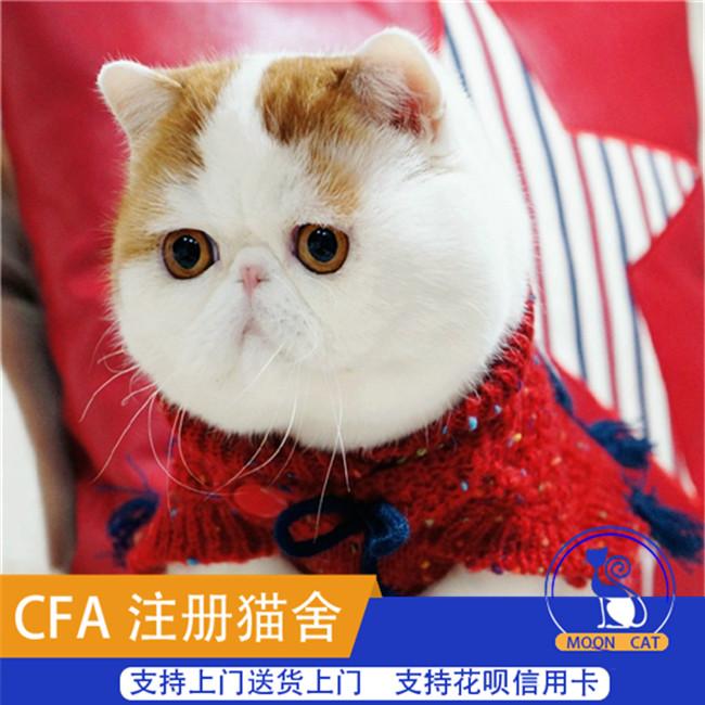 赛级活体宠物猫加菲猫纯种加菲猫幼猫幼崽咖啡猫异国短毛猫猫咪