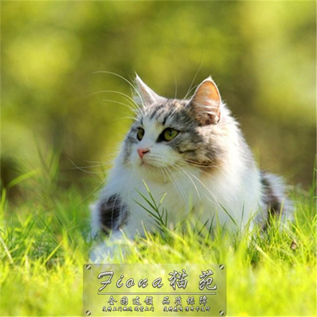 缅因猫活体幼猫纯种宠物猫银虎斑缅因库恩猫活体烟灰色巨型出售