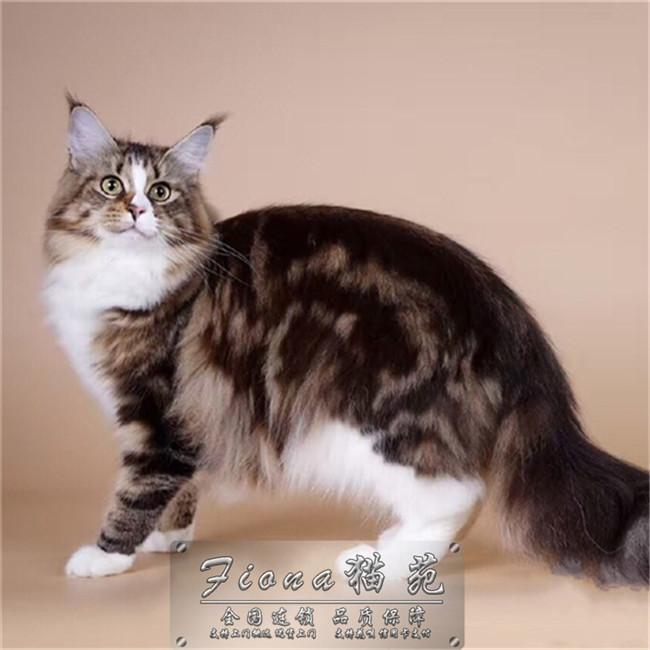 宠物缅因猫幼猫活体小猫咪纯种家养缅因猫活体出售