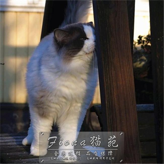 出售猫咪活体宠物布偶猫仙女猫优雅高贵小仙女纯种健康