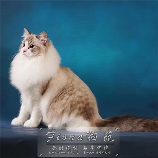 出售布偶猫高贵优雅气质仙女猫双色蓝眼幼猫活体满耳满背无色块
