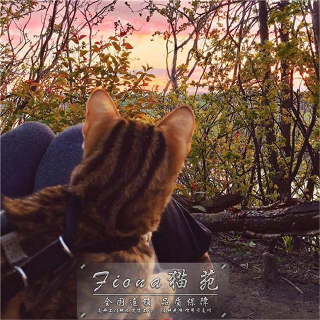 金色炭色银色孟加拉豹猫活体纯种大玫瑰银豹赛级金钱豹活体幼猫