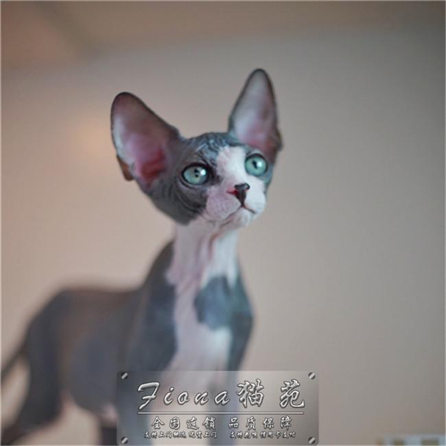 加拿大无毛猫幼猫活体纯种斯芬克斯猫精品繁育CFA猫舍比鲁斯