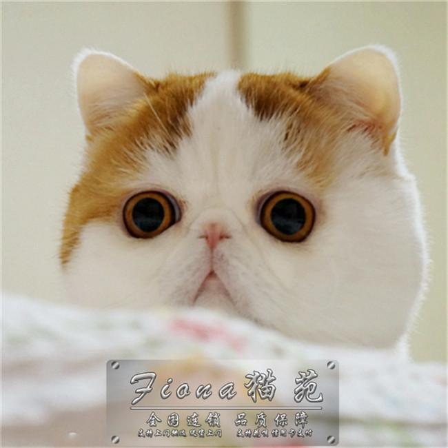 纯种加菲宠物猫咪幼猫活体蓝色猫美国猫活体短毛英国猫咪幼