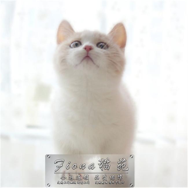 猫咪活体矮脚猫英短蓝白猫加菲猫金渐层端午无毛猫曼基康矮脚猫