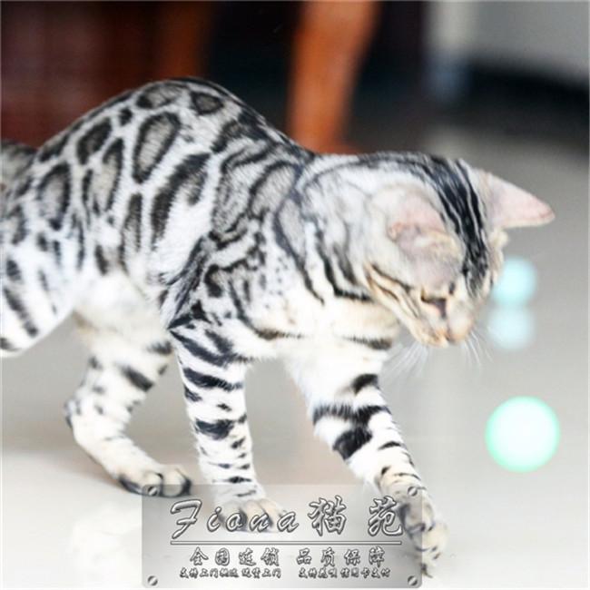 孟加拉豹猫活体纯种家养宠物猫巨型缅因猫银虎斑幼猫小猫咪小奶