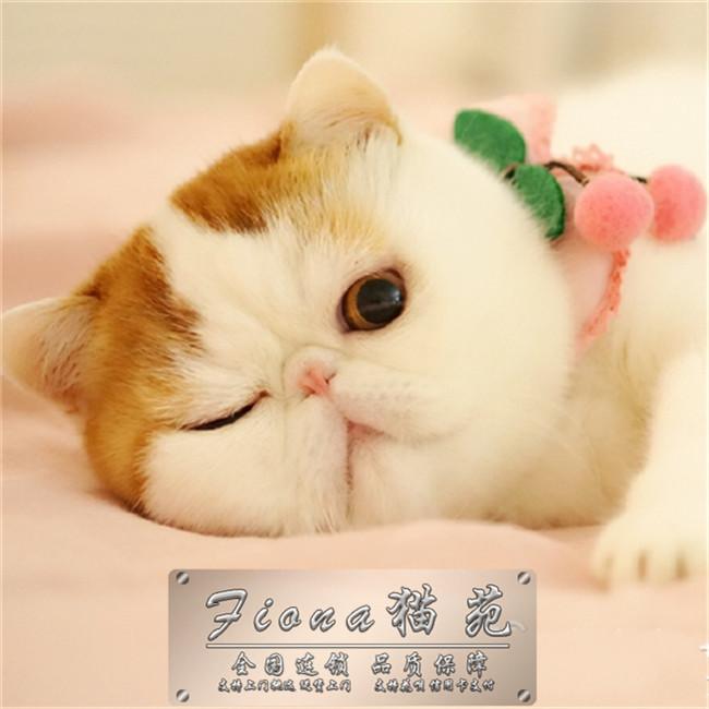 纯种梵文加菲猫活体幼猫幼崽水滴眼圆胖家养纯种异国短毛猫咪幼