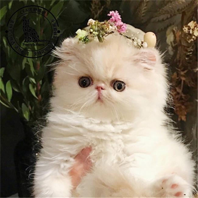 加菲猫 香港加菲猫  主要品种:蓝猫,蓝白,银渐层,加菲猫,美短,布偶,金