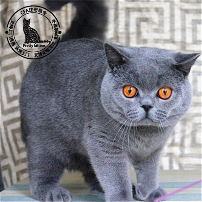 主要品种:蓝猫,蓝白,银渐层,加菲猫,美短,布偶,金吉拉等猫舍所有猫咪