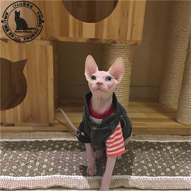 加拿大无毛猫幼猫纹身高中斯芬克斯猫纯种猫白好活体学生图片