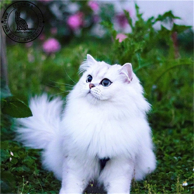纯种宠物猫咪蓝猫活体幼猫金吉拉暹罗折耳蓝白英短渐层猫美短加