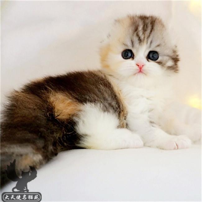 猫舍CFA苏格兰折耳猫立耳虎斑美短银渐层幼猫宠物猫咪活体