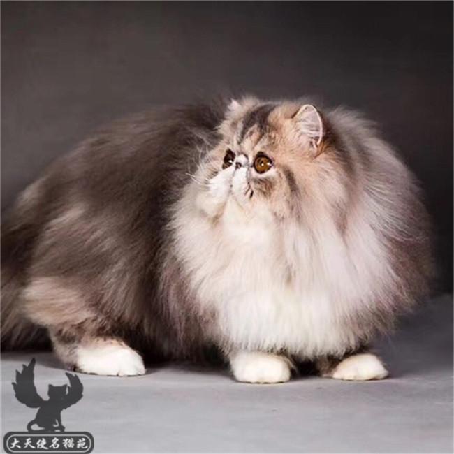 纯种宠物猫活体纯白黄白梵波斯猫活体幼猫纯白长毛加菲猫活体幼