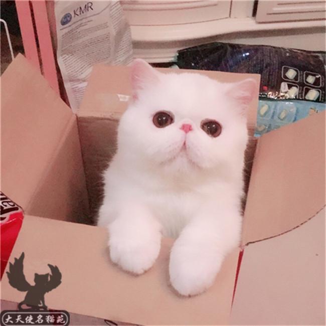 猫舍出售异国短毛猫加菲猫活体红小胖黄白纯白cfa纯种