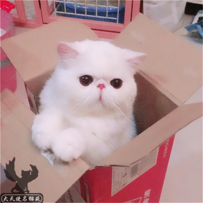 领养纯种加菲猫咪活体猫幼崽宠物猫幼猫异国短毛黑白加菲猫包子