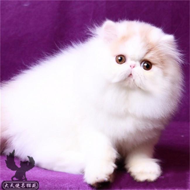 加菲猫活体纯种虎斑加白异国短毛猫长毛猫波斯猫家养宠物幼猫