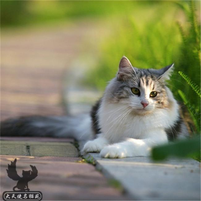 缅因猫活体巨型幼猫纯种宠物猫咪缅因库恩西伯利亚猫挪威森林幼