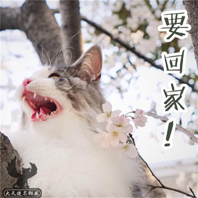 缅因猫活体幼猫虎斑缅因大体型猫咪纯种WCF带证回国包邮送到