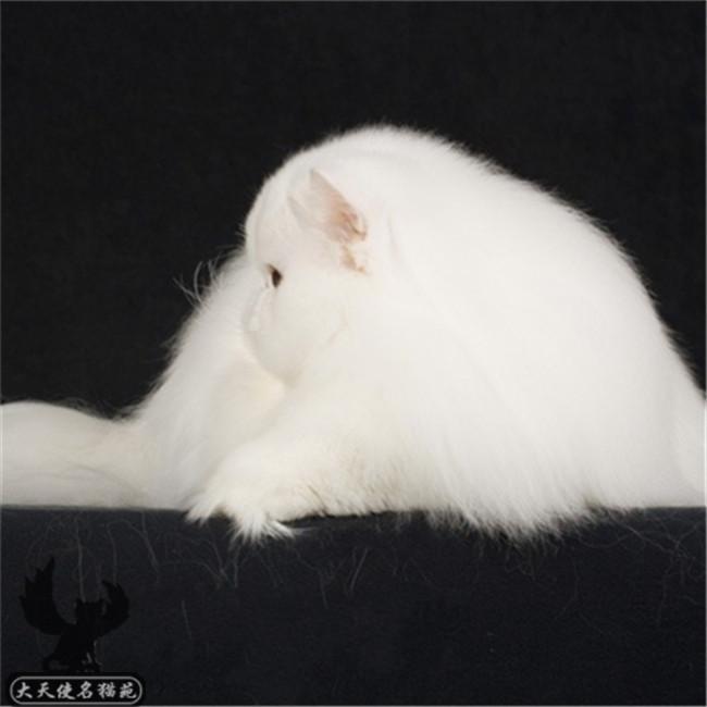 猫舍出售精品波斯猫幼猫幼崽宠物猫活体可上门挑选送货上门