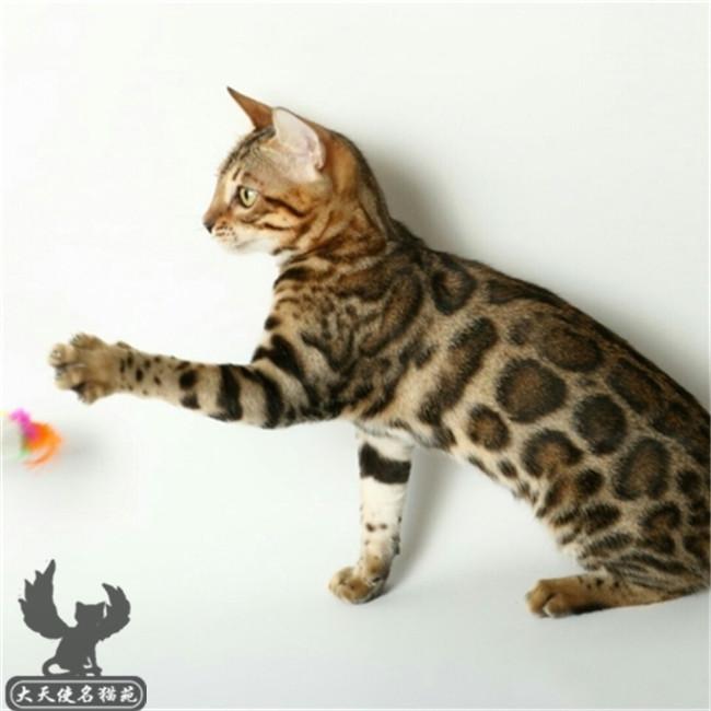 孟加拉豹猫活体幼猫空心玫瑰花纹豹猫幼猫宠物猫短毛猫豹猫活体