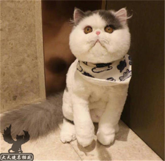 出售纯种加菲猫异国短毛猫活体家养宠物猫幼崽自家猫舍繁殖