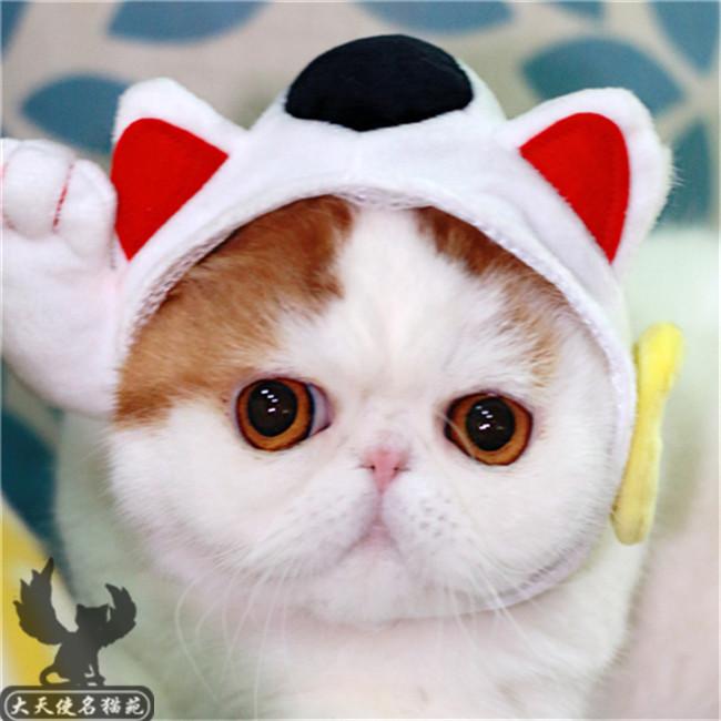 纯种加菲猫加菲猫活体纯种幼猫黄白包子脸加菲幼崽活体宠物猫