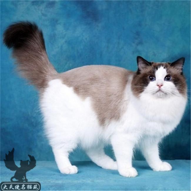 出售_正规猫舍出售双色布偶满耳满背无色块带正出售