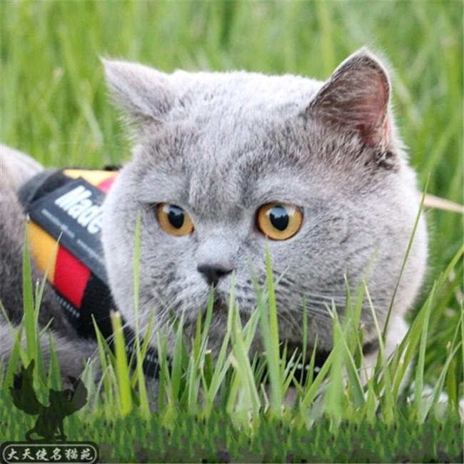猫舍出售幼猫活体纯种英国短毛猫英短蓝猫活体家养英短小猫