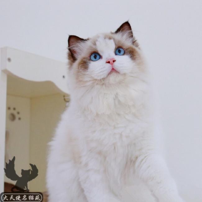 出售家养纯种健康优雅布偶猫活体幼猫可爱粘人可上门挑选