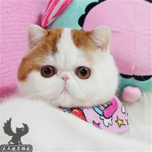 加菲猫活体幼崽纯种黄白三花黑白净樊自家繁殖全国包邮