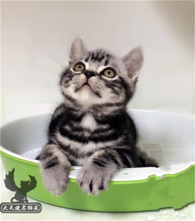 宠物猫咪活体家养美国短毛猫纯种虎斑标斑加白小猫咪猫仔幼崽活