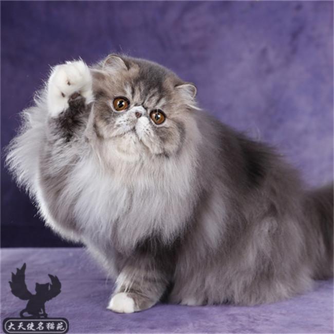 自家繁育纯种波斯猫健康驱虫疫苗已做完可签订协议